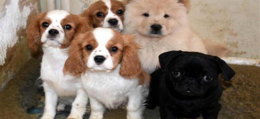 Köpekler Hakkında Yanlış Bilinen Doğrular ait tanıtım resmi